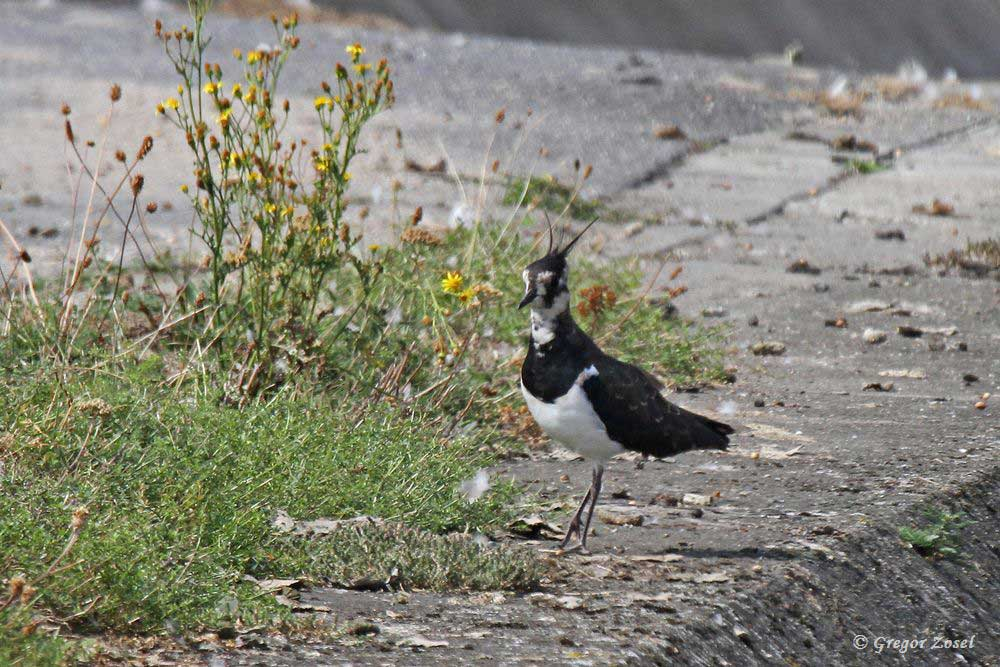 Leider ist der Kiebitz kein Brutvogel im Wasserwerk. Aber gerade nach der Brutzeit kann man hier regelmäßig Kiebitze vor ihrem Wegzug beobachten.......am 23.08.18 Foto: Gregor Zosel