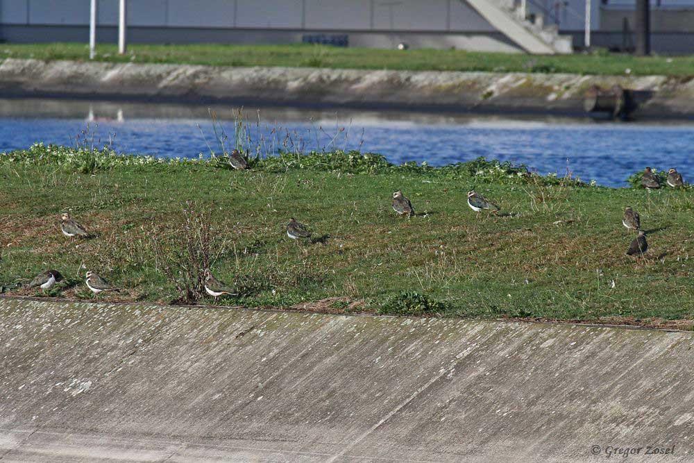 Der seit Wochen im Hammer Wasserwerk rastende Kiebitztrupp macht keine Anstalten weiter zu ziehen .....am 24.09.18 Foto: Gregor Zosel
