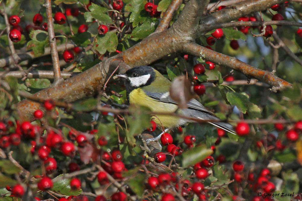 In den Hecken mit Beerenfrüchten ist nun richtiges Leben von Kleinvögeln.......am 14.09.18 Foto: Gregor Zosel