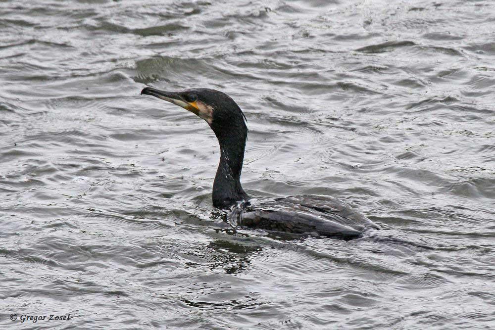 In der schnell fließenden Hönne heißt es für den Kormoran Wildwassertauchen....am 23.04.18 Foto: Gregor Zosel