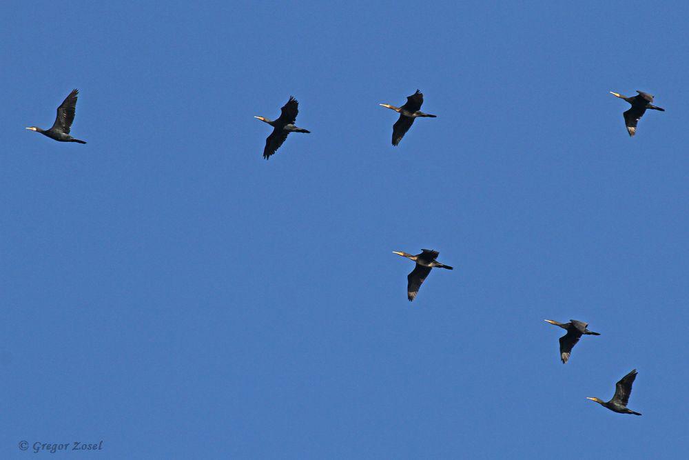 Ziehende Kormorane.....am 25.09.18 Foto: Gregor Zosel