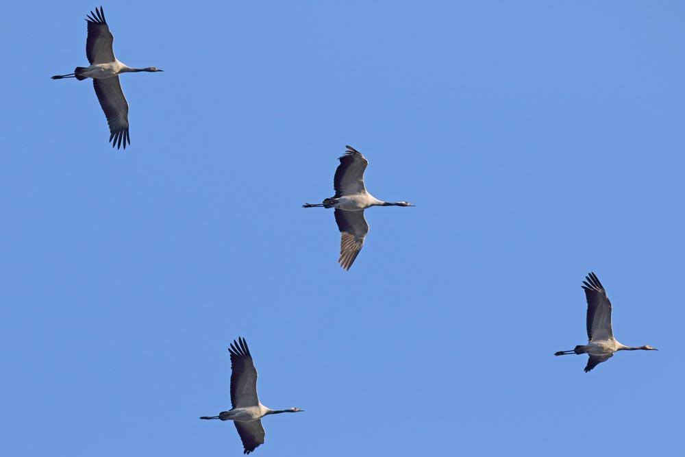 ... im selben Trupp hier vermutlich ein Familienverband mit 2 Altvögeln (Mitte) und 2 diesjährigen Jungvögeln (vorn und hinten), 16.11.2018 Foto: Bernhard Glüer
