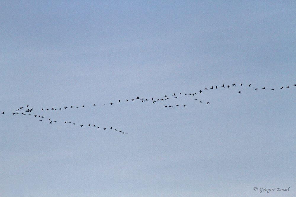 Kraniche über der Hohenheide......am 03.11.18 Foto: Gregor Zosel