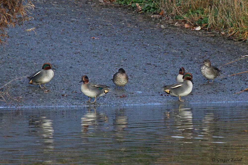 Etwas weiter sitzt eine andere Krickentengruppe am Ufer....... am 04.12.18 Foto: Gregor Zosel