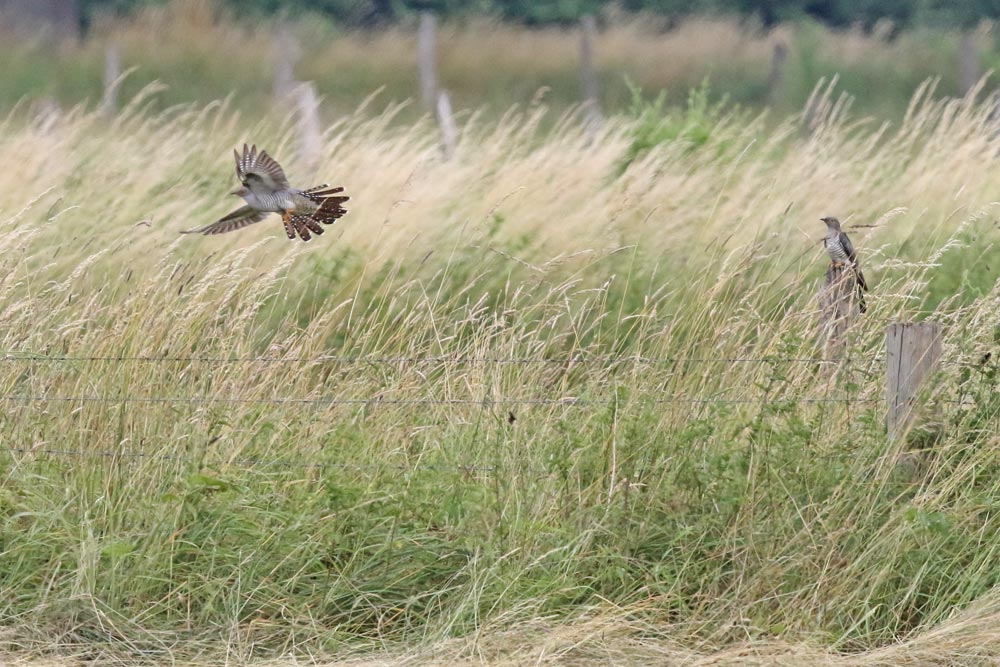 ... die Männchen scheinen gemeinsam zu agieren und halten scheinbar locker Kontakt ..., 18.06.2018 Foto: Bernhard Glüer