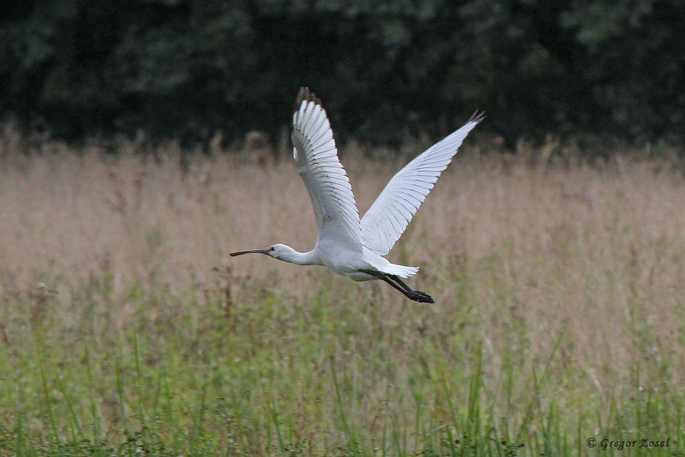 Beim Abflug sah man deutlich die dunklen Flügelspitzen, die typisch für das Jugendkleid sind.....am 31.08.18 Foto: Gregor Zosel