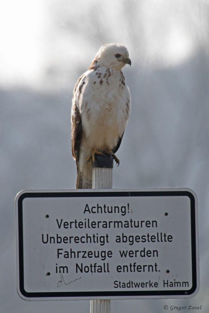 Berechtigter Mäusebussard ohne Fahrzeug im Warmer Löhen......am 02.04.18 Foto: Gregor Zosel