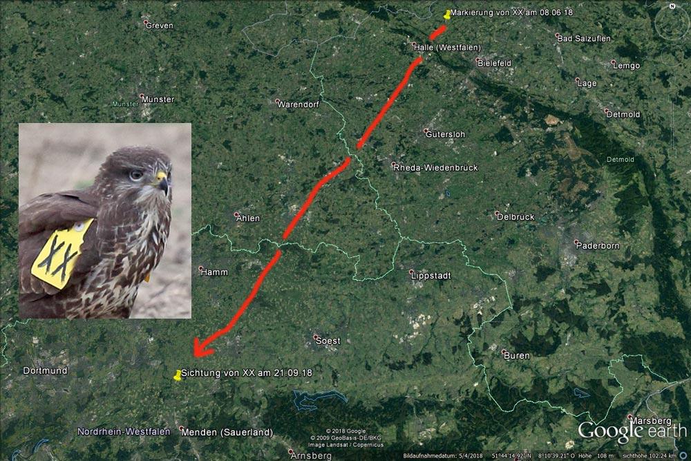 Der Weg des diesj. Mäusebussard-Weibchens `XX´ nach Fröndenberg, 25.09.2018 Foto: Bernhard Glüer