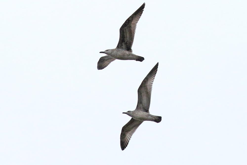 ... überfliegende Großmöwen - (relativ dünner Schnabel, recht helle Flügelunterseiten - Steppenmöwe, 1.W.?), 23.09.2018 Foto: Bernhard Glüer