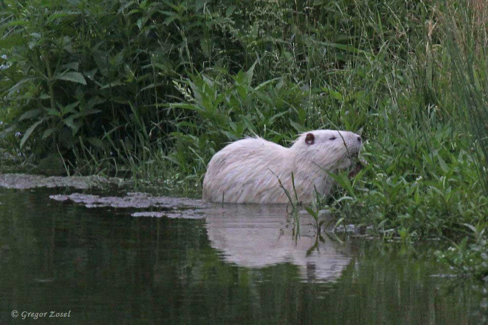 Bei vielen Besuchern der Kiebitzwiese, insbesondere bei den Kindern, ist dieser weiße Nutria im Moment das beliebteste Tier....am 11.06.18 Foto: Gregor Zosel