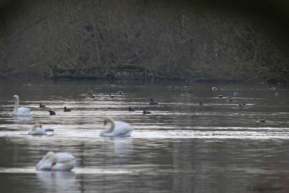 Wasservogelmix in der Sperrzone......am 27.12.18 Foto: Gregor Zosel