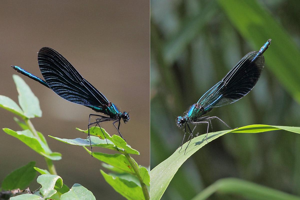 Jetzt ist auch die Blauflügel-Prachtlibelle (links) – eher eine Art aus dem Südkreis – an der Amecke angekommen. Im Vergleich zur Gebänderten Prachtlibelle (rechts) stellt erstere Art höhere Ansprüche an die Wasserqualität. Foto H. Knüwer