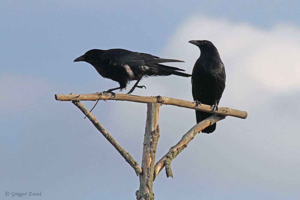 Wie aus einem Gruselfilm wird diese Szene mit den beiden Rabenkrähen.....am 31.05.18 Foto: Gregor Zosel
