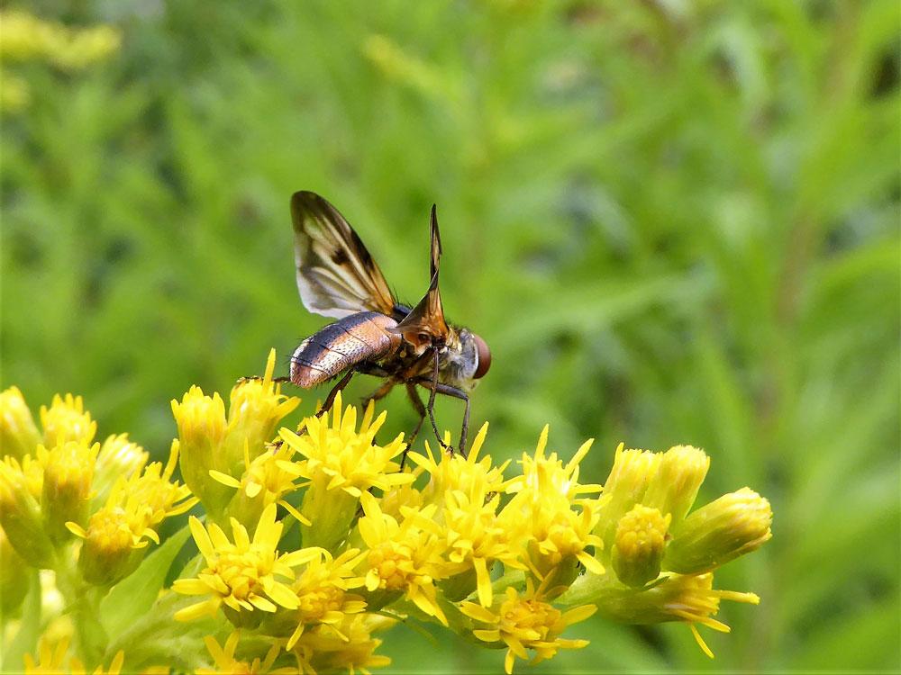 Ectophasia crassipennis, Breitflügelige Raupenfliege, Lünen, 21.07.2018 Foto: Achim Pflaume
