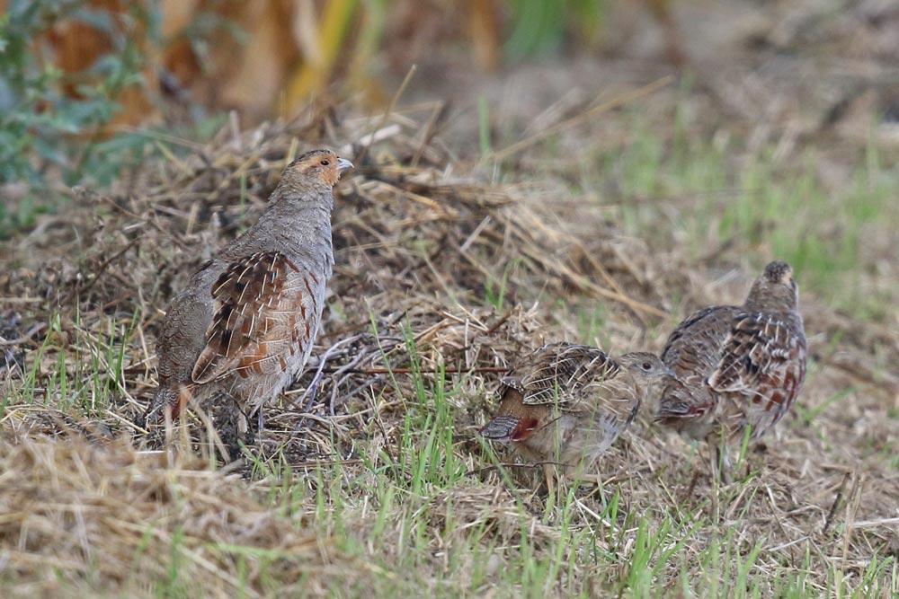 ... etwas `bescheidener´ - Rebhuhnpaar im Hemmerder Ostfeld mit nur einem einzigen Jungvogel, 29.08.2018 Foto: Bernhard Glüer