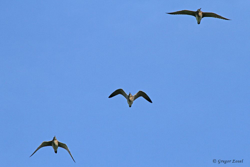 3 Regenbrachvögel, die nach einer Rast in der Sichlerbucht der Kiebitzwiese, in Richtung Osten weiterzogen.....am 07.04.18 Foto: Gregor Zosel