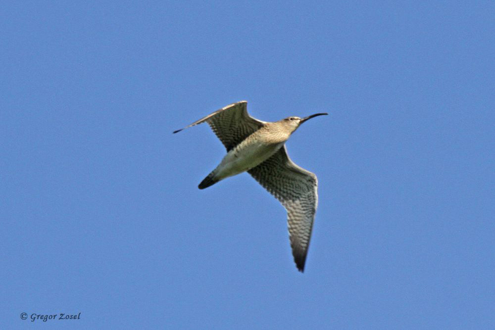 Typisch für diese Brachvogelart ist der kürzere Schnabel und der deutliche schwarze Augenstreif.....am 07.04.18 Foto: Gregor Zosel