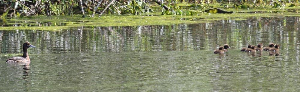 ... auch im Wassergewinnungsgelände bei Frdbg.-Langschede gibt es noch mehrere Reiherenten mit spätem Nachwuchs, 29.07.2018 Foto: Bernhard Glüer