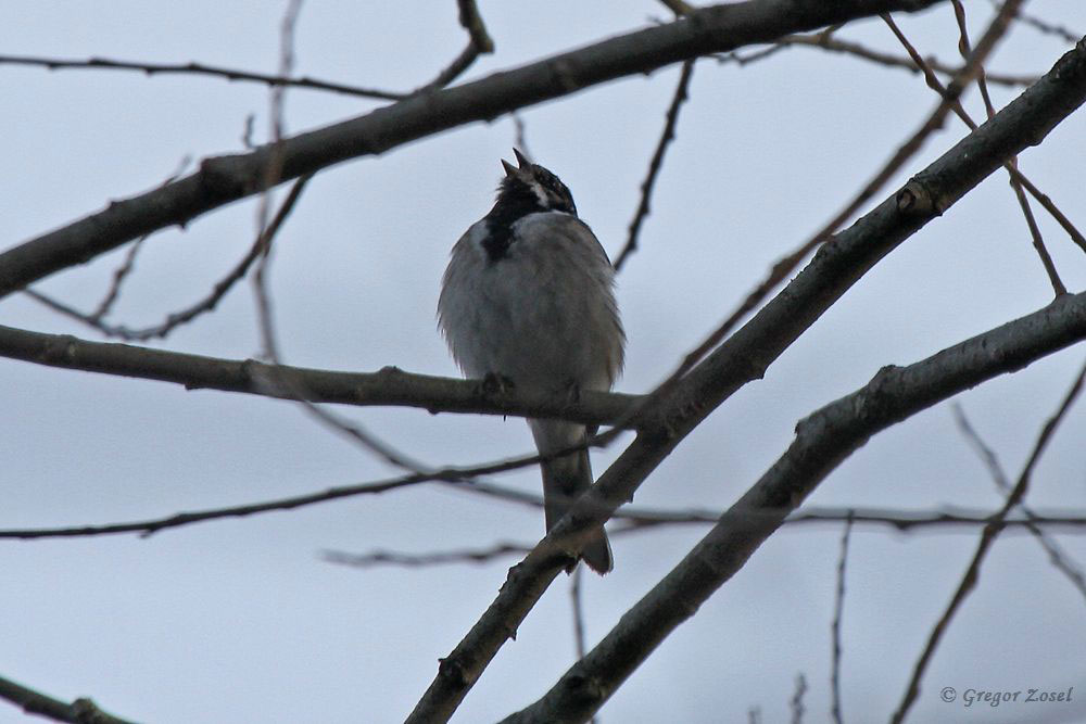 Mit 6 singenden Männchen ist der Bestand vom letzten Jahr jetzt schon erreicht.....am 30.03.18 Foto: Gregor Zosel
