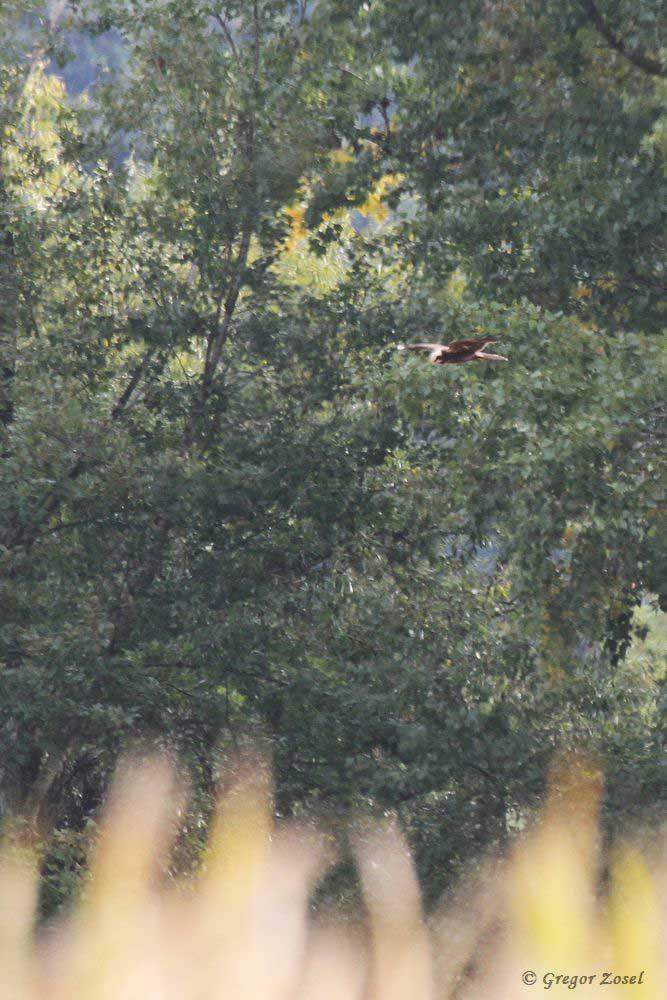 Über einem großen Maisfeld jagte eine Rohrweihe........am 10.09.18 Foto: Gregor Zosel