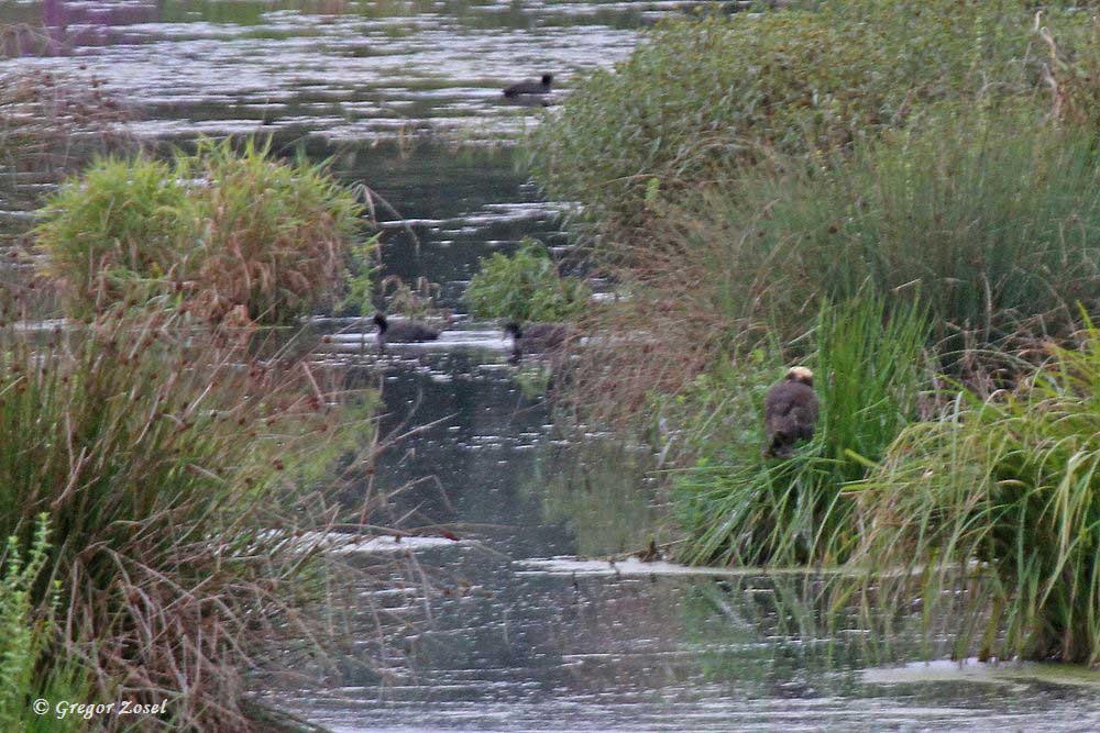 Rohrweihe in der Sichlerbucht beobachtet die umherschwimmenden Blässrallen.....am 27.08.18 Foto: Gregor Zosel