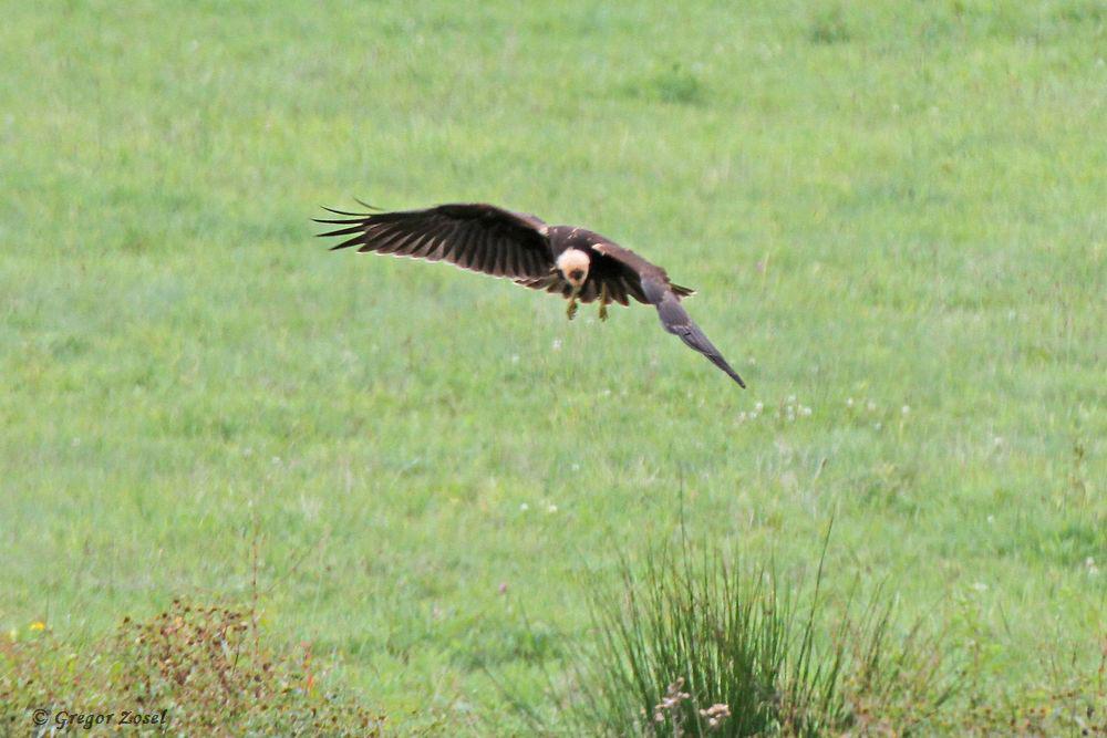 Im Rüttelflug sucht sie die Gewässer nach Beute ab......am 31.08.18 Foto: Gregor Zosel