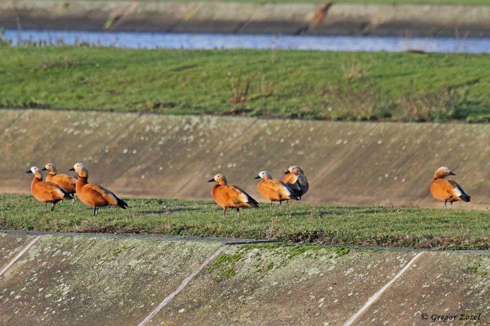 Die Zahl der Rostgänse im Hammer Wasserwerk ist wieder gestiegen....am 18.12.18 Foto: Gregor Zosel