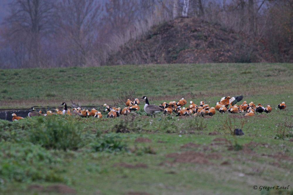 Alle Rostgänse zunächst unübersichtlich im Hammer Wasserwerk versammelt......am 19.11.18 Foto: Gregor Zosel