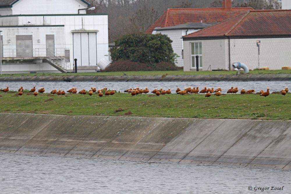 Erst von der gegenüberliegenden Uferseite des benachbarten Filterbeckens konnte ich dann bequem die Rostgänse durchzählen....am 19.11.18 Foto: Gregor Zosel