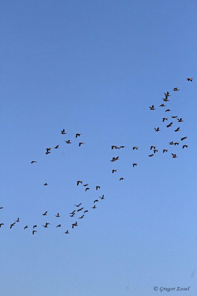 Auf diesem Foto konnte ich fast alle Rostgänse erwischen. Beim Durchzählen kommt man auf 68 Vögel. Eine Rostgans blieb unbeeindruckt am Filterbeckenrand sitzen......am 21.11.18 Foto: Gregor Zosel