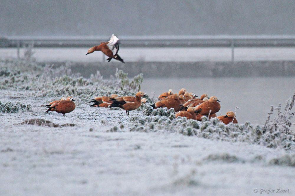Rostgänse in der heutigen Winterlandschaft.....am 23.11.18 Foto: Gregor Zosel