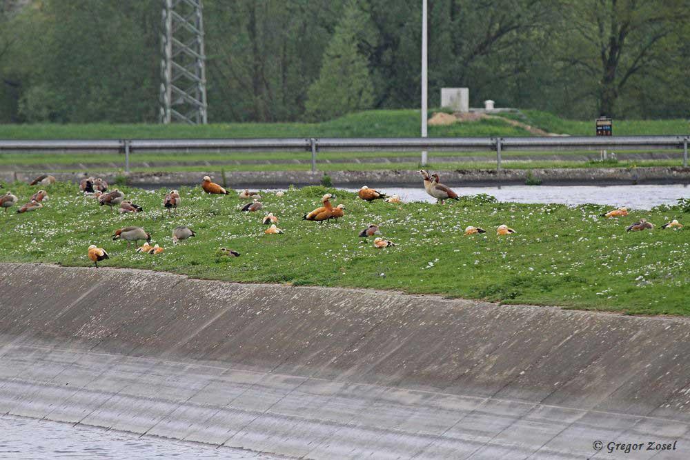 Solch eine stattliche Zahl an Rostgänsen Ende April ist eher ungewöhnlich.....am 24.04.18 Foto: Gregor Zosel