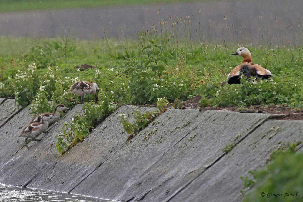 Rostgans mit Nachwuchs im Hammer Wasserwerk....am 24.05.18 Foto: Gregor Zosel