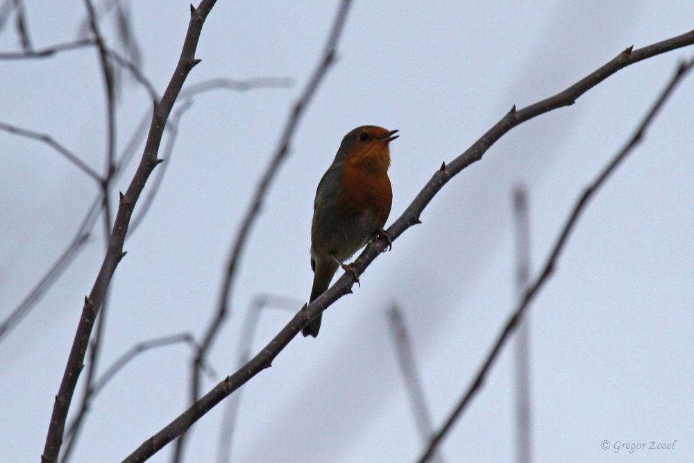 Bei meinem Spaziergang konnte ich sowohl in den beiden Parkanlagen als auch an den Gewässerufern singende Rotkehlchen hören.Es dürften wohl über zehn Rotkehlchen mit Gesang gewesen sein........am 08.11.18 Foto: Gregor Zosel