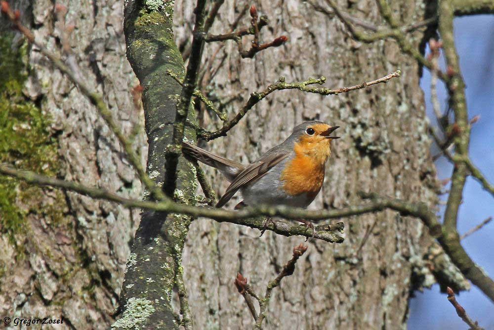 Rotkehlchen gehörten heute zu den auffälligsten Sängern im Wald......am 31.03.18 Foto: Gregor Zosel