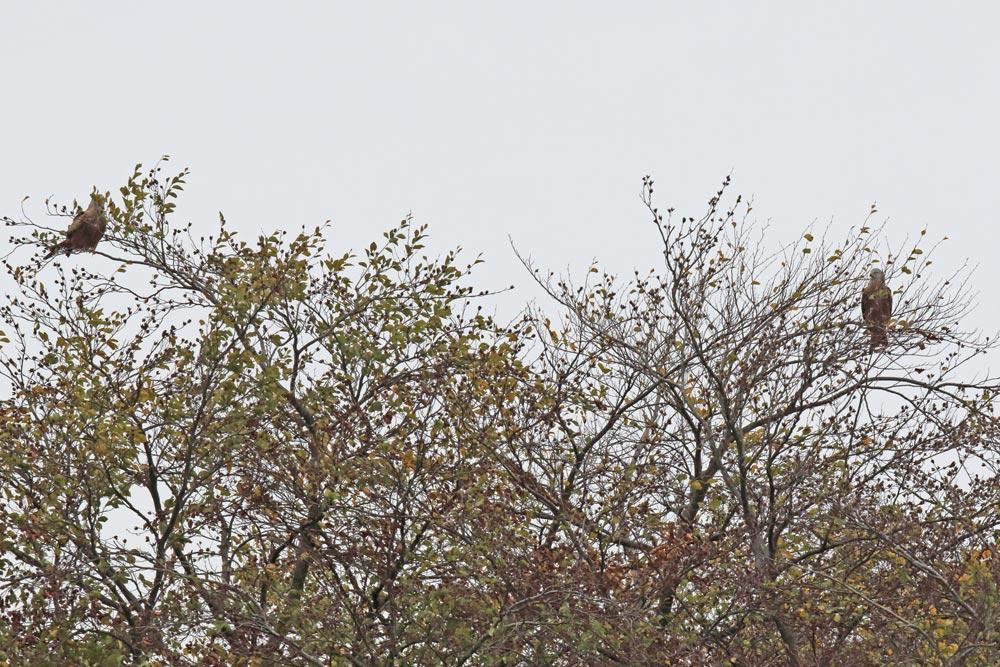 Zwei von insgesamt sechs rastenden Rotmilanen nahe Frdbg.-Hohenheide, 01.11.2018 Foto: Bernhard Glüer