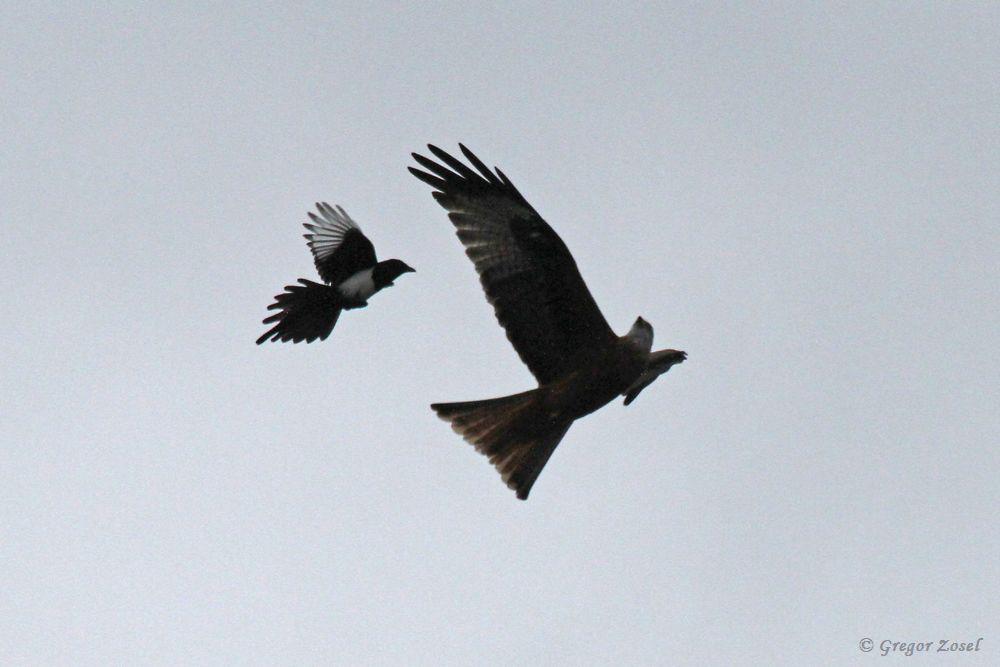 Genervt von den Attacken der Rabenvögel zog er schließlich ab....am 23.10.18 Foto: Gregor Zosel