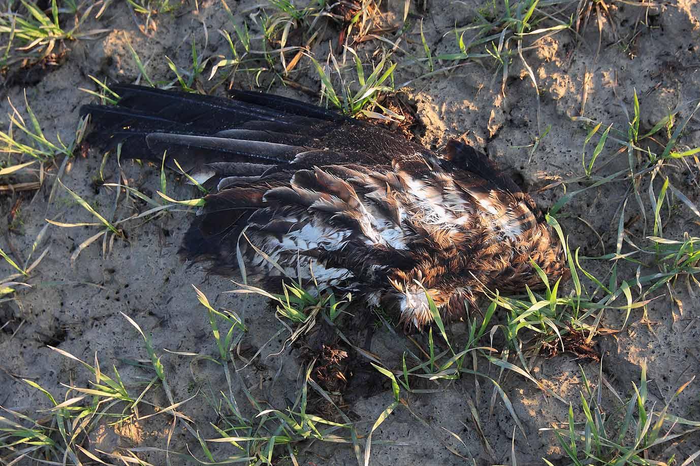 """Der abgeschlagene Flügel fand sich 20 m entfernt. 29.03.2018. Foto H. Knüwer"""" width="""