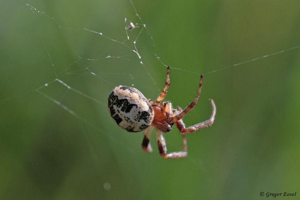 Eine weibliche Schilfradspinne bessert ihr Netz aus.....am 26.05.18 Foto: Gregor Zosel