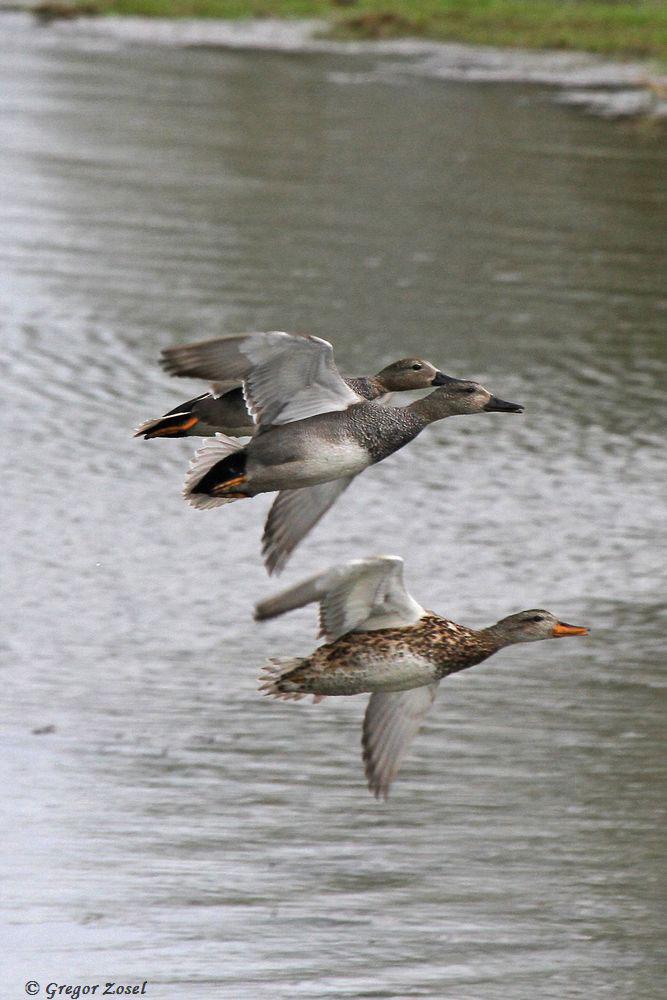 Zwei Schnattererpel mit Weibchen im Vorbeiflug.....am 11.04.18 Foto: Gregor Zosel