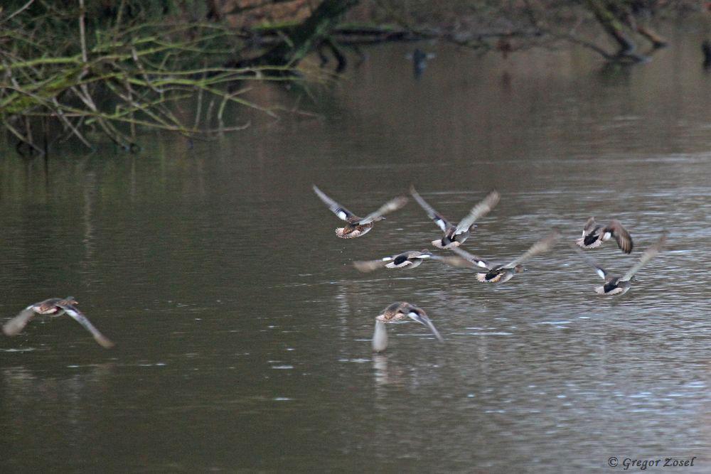 Abfliegende Schnatterenten.....am 11.12.18 Foto: Gregor Zosel