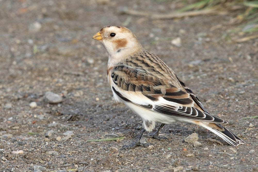 ... diesen Einzelvogel hat es immerhin bis in die Strickherdicker Feldflur verschlagen ..., 30.11.2018 Foto: Bernhard Glüer