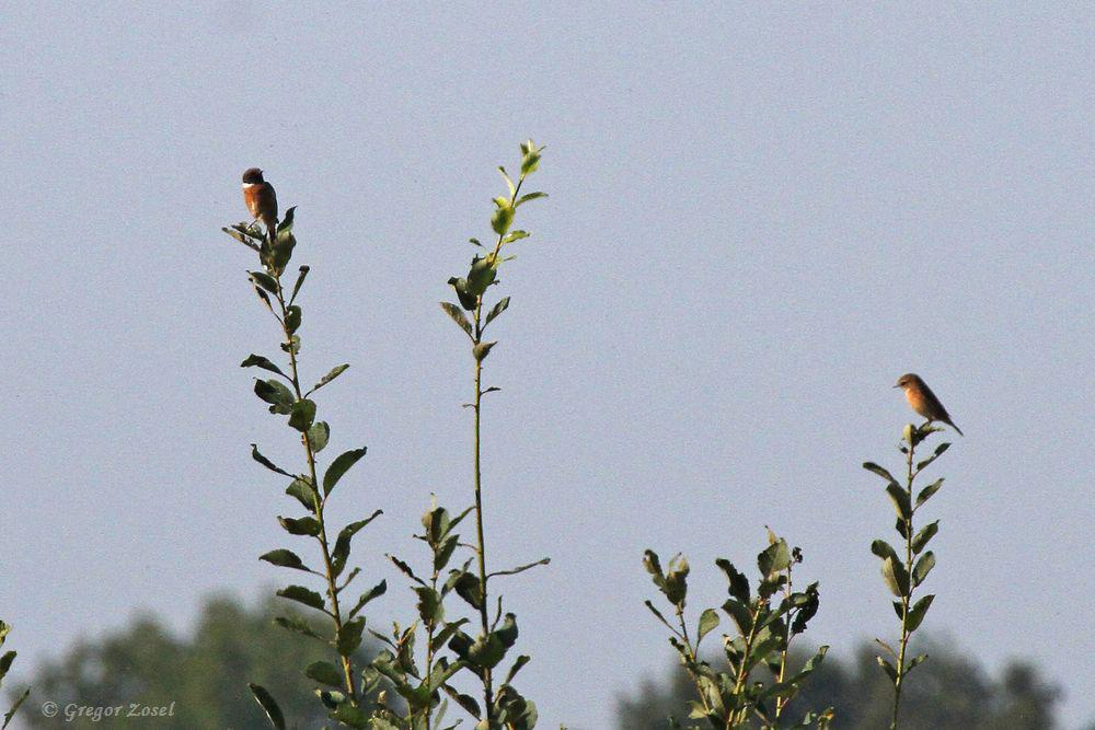Schwarzkehlchen in der Hecke nahe des Aussichtshügels......am 19.09.18 Foto: Gregor Zosel