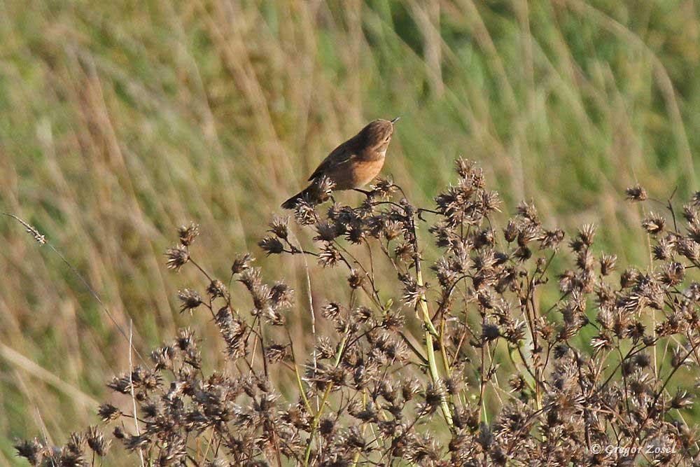 Auch heute waren noch beide Schwarzkehlchen nahe des Aussichtshügels zu beobachten, wo sie im Flug Insekten jagten.....am 20.09.18 Foto: Gregor Zosel
