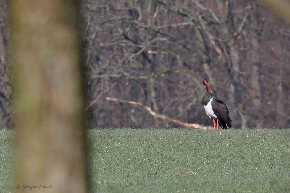 Etwas später entdeckte ich ihn nochmal vom Wanderweg aus......am 31.03.18 Foto: Gregor Zosel