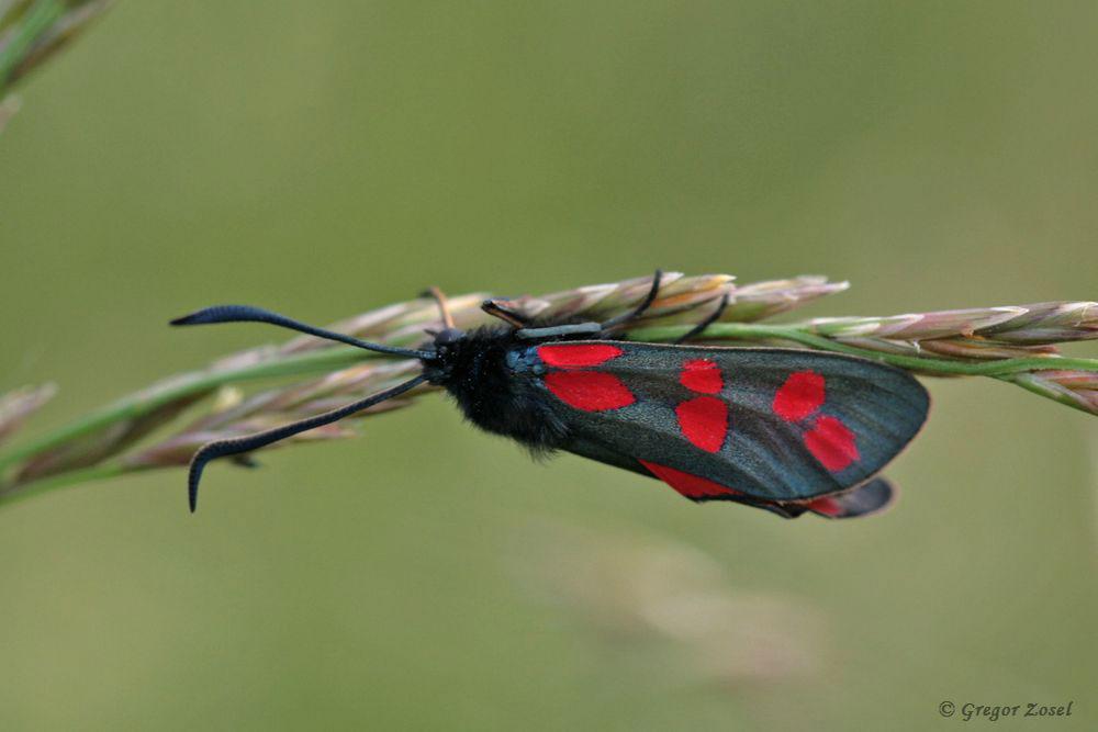 Das Sechsfleck-Widderchen Zygaena filipendulae ist besser bekannt unter dem Namen Blutströpfchen....am 31.05.18 Foto: Gregor Zosel