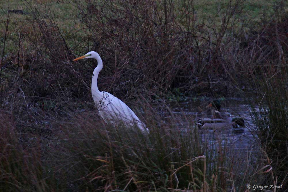 Silberreiher jagt in einem Wassergraben.....am 11.12.18 Foto: Gregor Zosel