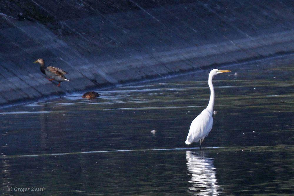 Ein zweiter Silberreiher im Wasserwerk fischt lieber in einem Filterbecken.......am 14.09.18 Foto: Gregor Zosel
