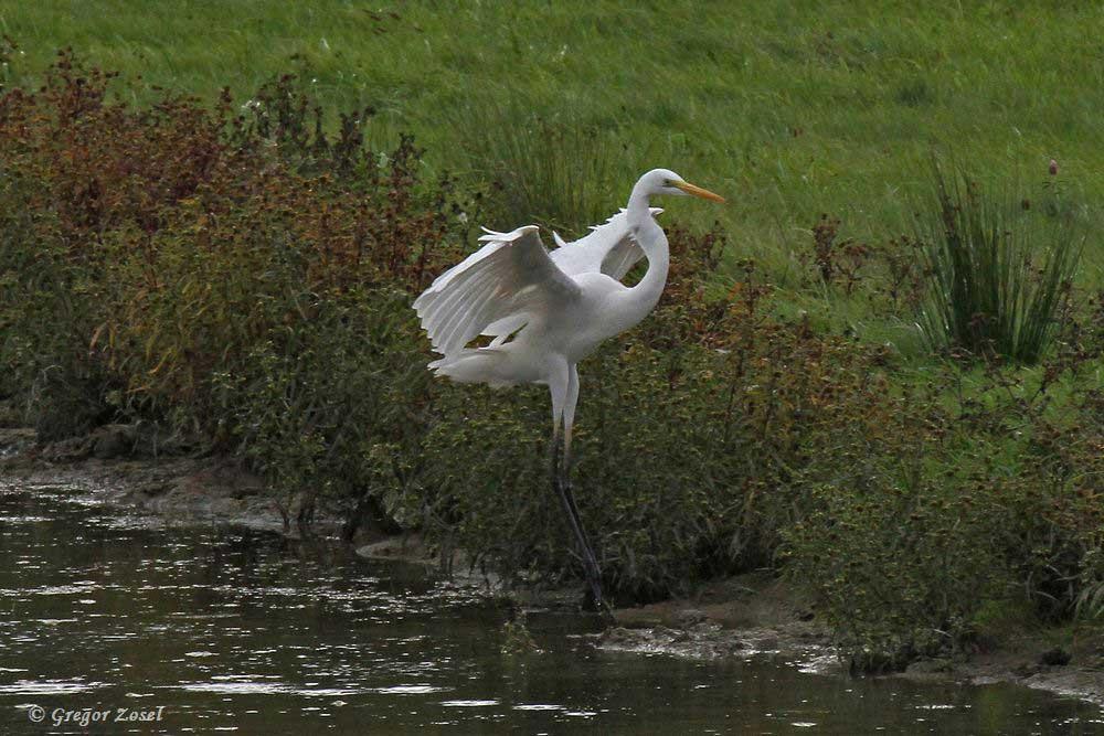 Elegante Landung......am 21.09.18 Foto: Gregor Zosel