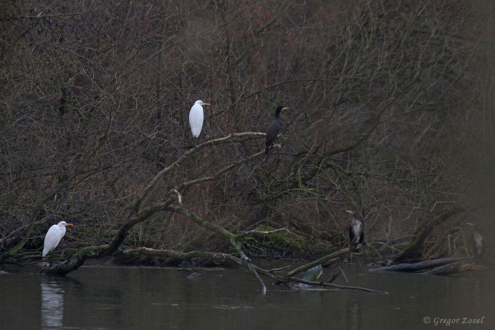 Silberreiher und Kormorane finden am Ruhrufer auf umgestürzten Bäumen reichlich Sitzmöglichkeiten zum Ausruhen .....am 27.12.18 Foto: Gregor Zosel
